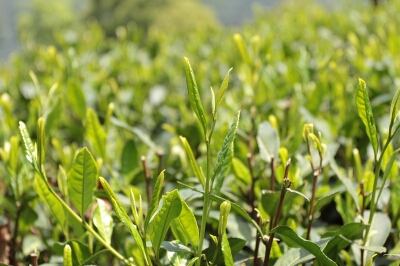 Кусты зеленого чая «Лунцзин»