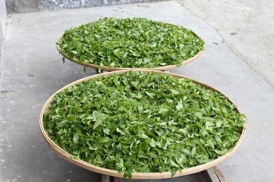 Завяливание чая «Дан Цун»